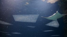 Stingray in blue water. Underwater shot in the ocean. Marine fauna.  stock video