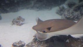 Stingray in blue water. Underwater shot in the ocean. Marine fauna.  stock footage