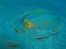 Stingray Bluespotted Стоковое фото RF