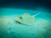 Stingray on the bottom of the ocean, Indonesia stock image