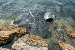 Stingray coming up out of the water, looking for food. royalty free stock photo