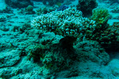 Stingray on coral reaf of Sharm El Sheih Stock Image