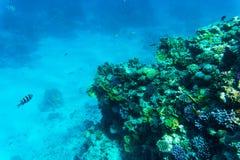 Stingray on coral reaf of Sharm El Sheih Stock Images