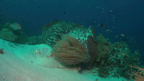 Stingray on a coral reef. Stingray on sandy bottom of a colorful coral reef. 4k footage stock video