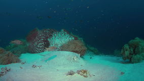 Stingray on a coral reef. Stingray on sandy bottom of a colorful coral reef. 4k footage stock footage