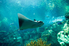 Stingray of the Dasvatis genus Royalty Free Stock Photos