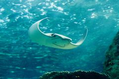 Stingray of the Dasvatis genus. Glides through the water near a coral reef in a large saltwater aquarium Royalty Free Stock Photography