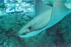 Stingray of the Dasvatis genus. Glides through the water near a coral reef in a large saltwater aquarium Royalty Free Stock Photos