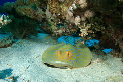Stingray de Bluespotted Fotos de archivo