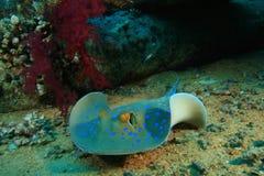 Stingray de Bluespotted Foto de archivo libre de regalías