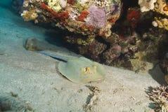 Stingray de Bluespotted en una parte inferior arenosa. Foto de archivo libre de regalías