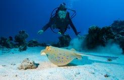 Stingray di Bluespotted e dell'operatore subacqueo Immagini Stock Libere da Diritti