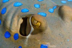 Stingray di Bluespotted (lymma di Taeniura) Fotografie Stock