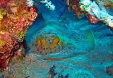 Stingray di Bluespotted nel Mar Rosso Fotografie Stock