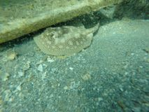 Stingray Royalty Free Stock Photo