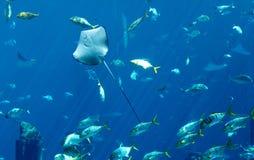 Stingray e peixes fotos de stock