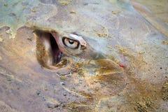 Stingray eye closeup Stock Image