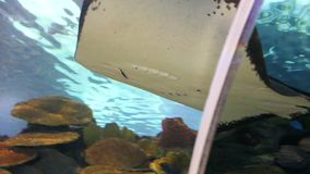 Stingray fish. Spotted Eagle-rays (Aetobatus narinari) swimming over coral reef,Lined Butterflyfish stock footage