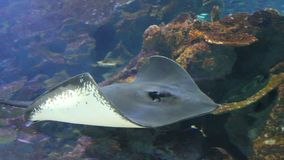 Stingray fish. Spotted Eagle-rays (Aetobatus narinari) swimming over coral reef,Lined Butterflyfish stock video footage
