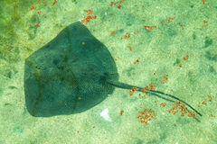 Stingray fish swims Royalty Free Stock Photos