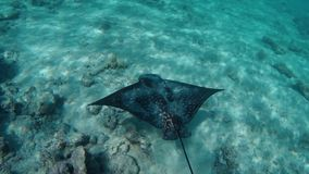 A stingray fish. Underwater view of a stingray fish in the red sea stock video footage