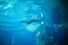 Stingray fishes swimming free in the aquarium.  Royalty Free Stock Photo