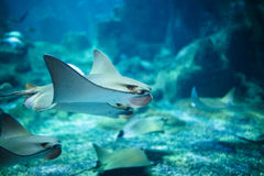 Stingray fishes swimming free in the aquarium.  Royalty Free Stock Photography