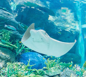 Stingray fishes swimming free in the aquarium  flapnose ray. Royalty Free Stock Image