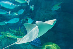 Stingray fishes swimming free in the aquarium  flapnose ray. Stock Photos
