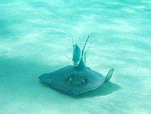 Stingray followed by fish Stock Photo