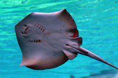 Stingray Stock Photo