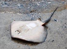 Stingray guasto Fotografie Stock Libere da Diritti