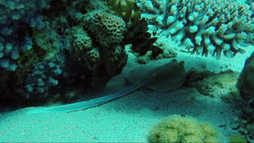 The stingray hides under the sagging corals. Red Sea in Sharm El Sheikh area. HD underwater video stock video