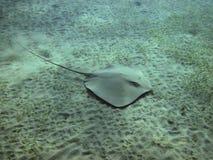 Stingray (Himantura uarnak) κολύμβηση Darkspotted πέρα από τη θάλασσα BO Στοκ φωτογραφίες με δικαίωμα ελεύθερης χρήσης
