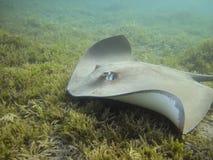 Stingray (Himantura uarnak) κολύμβηση Darkspotted πέρα από τη θάλασσα GR Στοκ Φωτογραφίες
