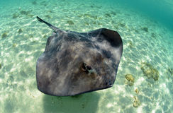 Stingray in its natural habitat Royalty Free Stock Photo