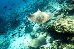 A stingray lies in clear shallow waters in the Maldives. Detail stock photography