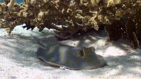 Stingray macchiato blu sul fondo sabbioso di Coral Reef stock footage