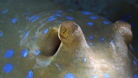 Stingray macchiato blu sul fondo sabbioso di Coral Reef video d archivio
