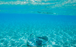 Stingray in Maldive Immagine Stock