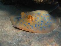 Stingray manchado azul Fotografía de archivo libre de regalías