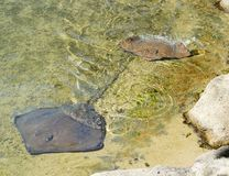 Stingray marine life ray fish close to shore Stock Photo