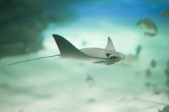 Stingray in movement in Aquarium. Stingray while moving in an aquarium with fish in the background royalty free stock photo