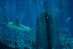 Stingray near the artificial grave in the aquarium Stock Photos