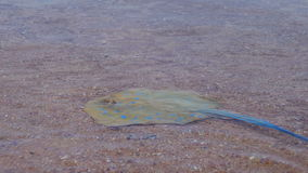 Stingray in the Red Sea. Ramp Lima. Ramp on the shoreline under water peschyanom beach in Egypt. Transparent sea water red sea. Underwater life stock footage