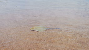 Stingray in the Red Sea. Ramp Lima. Ramp on the shoreline under water peschyanom beach in Egypt. Transparent sea water red sea. Underwater life stock video