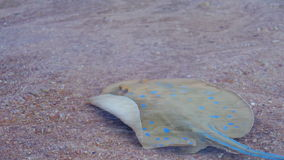 Stingray in the Red Sea. Ramp on the shoreline under water peschyanom beach in Egypt. Transparent sea water red sea. Underwater life stock footage