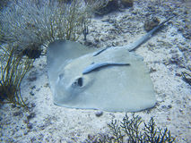 Stringray Stock Photography