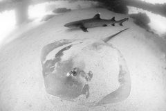 Stingray and reef shark. Stingray and reefshark together under a jetty Stock Photography
