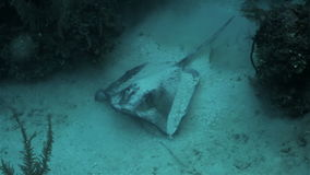 Stingray on the sand bottom of Caribbean sea. Cuba stock footage